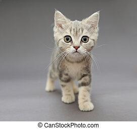 Little British gray kitten with big eyes - Little British...