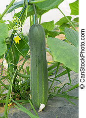 Cucumber crop in harvesting stage