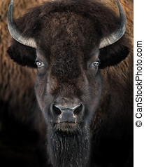 American Bison II - Frontal portrait of American Bison
