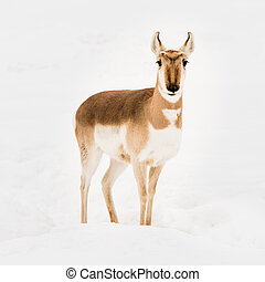 Pronghorn in Snow VI - Frontal Portrait of a Pronghorn in...