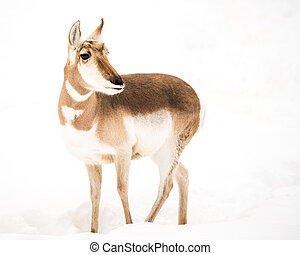 Pronghorn in Snow IV - Profile Portrait of Pronghorn in Snow