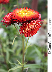Helychrysum - Immortelle. Everlasting flower. Strawflower