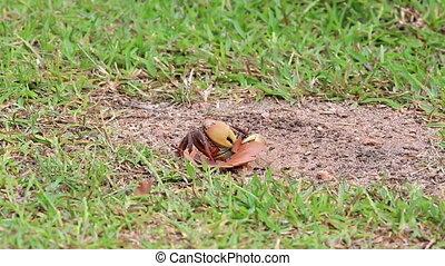 Land crab pulls a leaf in his hole. Praslin Island in...