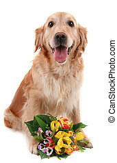 romantic dog - golden retriever with bouquet of flower