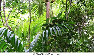 Deckenia nobilis in Vallee de Mai Nature Reserve in Praslin....