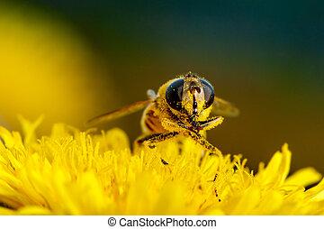 Macro shot of a bee on a flower dandelion