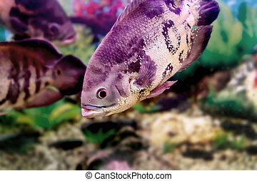 beautiful aquarium fish Astronotusa - mage of a beautiful...