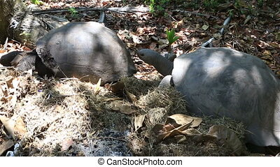 Male courts the female Aldabra giant tortoise. Time Lapse -...