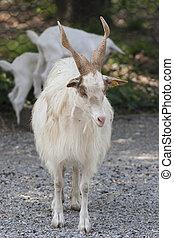 goat markhor
