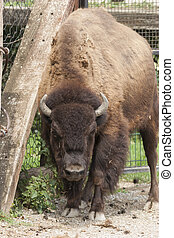 african bison