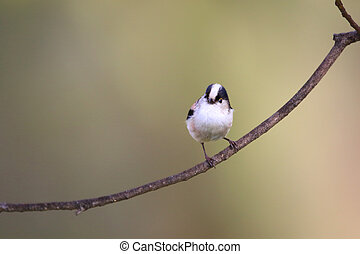 Long-tailed Tit Aegithalos caudatus in Japan