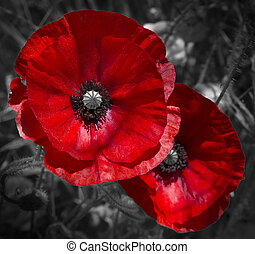 Red Poppies - A field of bright, red poppies