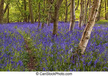Bluebell woods - A carpet of bluebells under birch and beech...
