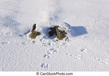 Rabbits run for cover but tracks lead to their warren -...