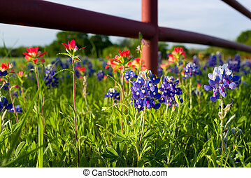 Texas Wildflowers - Bluebonnets and Indian paintbrushes in...