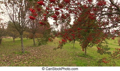 rowan tree in park - rowan tree with red small berry on...
