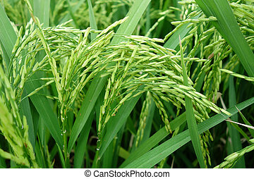 Paddy rice - Close up of ripe rice in the paddy