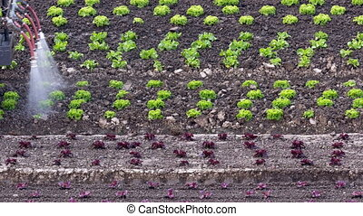 Tractor irrigating salad seedlings - Tractor slowly moving...