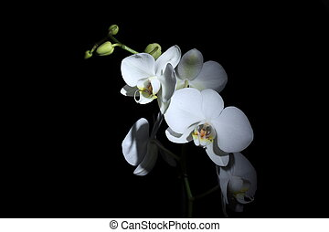 Phalaenopsis Orchid - white beautiful orchid isolated on...