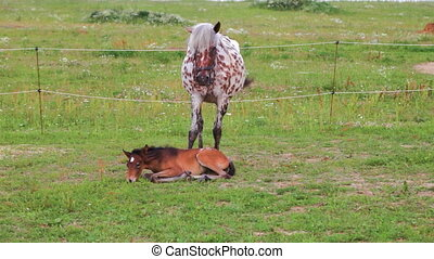 Small brown foal and spotty mare in