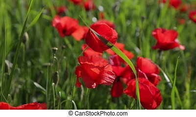 blossoming red poppies in the field close up