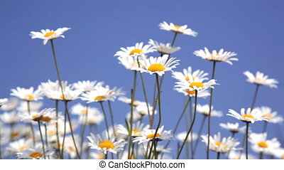Beautiful summer meadow with the blossoming camomiles...