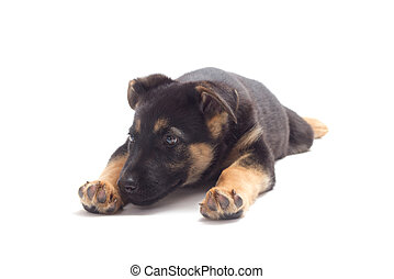 puppy lying on a white background