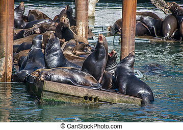 Agressive Fighting Sea Lions - Sea Lions on a Dock in...