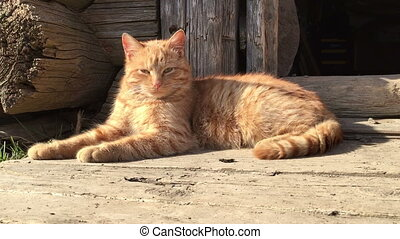 Red cat basking in the sun. Sunny cat - Red cat basking in...