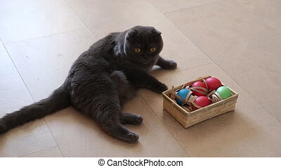 British cat playing with easter eggs happy