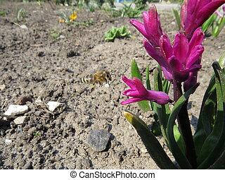hyacinth - Pink hyacinth flower, which flew a bee