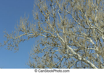 American Sycamore - American sycamore branches against a...