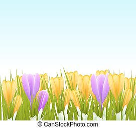 spring crocus flowers background