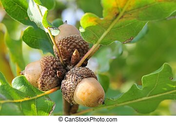 Acorns - Three acorns on fresh green twig