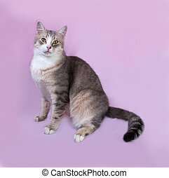 Gray striped fat cat lying on lilac background