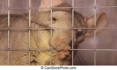 chinchilla in the cage - chinchilla and human finger