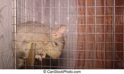 chinchilla in the cage - close-up chinchilla in the cage