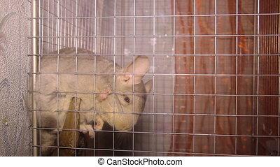chinchilla in the cage - close-up chinchilla in the cage