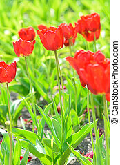 red tulips - Tulipa X Hybrida hort Oxford
