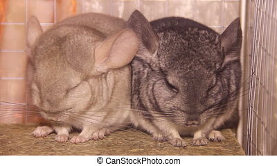 two chinchillas - close-up two gray chinchillas