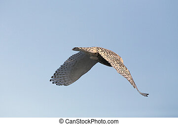 Snowy Owl in Saskatchewan Canada in winter in flight