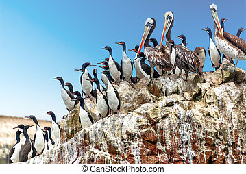 Pelicans and Cormorants - Brown pelicans and guanay...