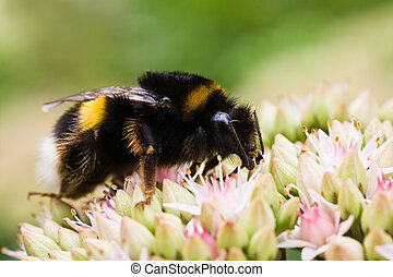 Bumble bee on Sedum flowers - Bumble bee getting nectar from...