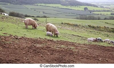 Two sow pigs and litter of piglets in a farm field