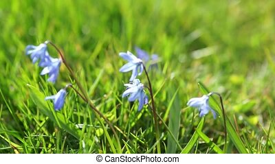 Blue flowers in grass - Video clip of blue wildflowers in...