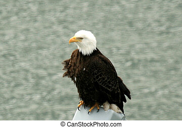 Bald Eagle - Juneau, Alaska, USA - Juneau - The Capital City...