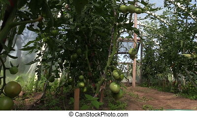 tomato plant greenhouse - Tomato vegetable plants grow in...