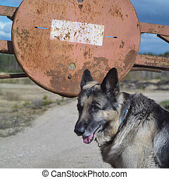 No Entry - Shepherd dog near a road sign No Entry, outdoor...