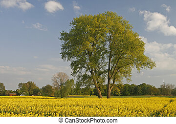 Tree with rape field, Lower Saxony, Germany, Europe
