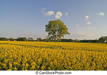 Tree with rape field in Lower Saxony, Germany